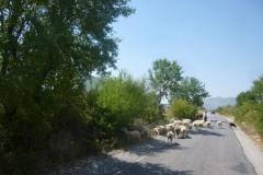 P1110521-Kudde-schapen-in-Albanie