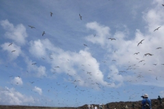 P1020188-Thousands-of-sooty-tern-birds