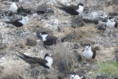 P1020210-Sooty-terns