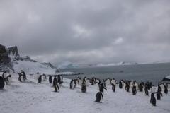 P1000836-Gentoo-pinguins