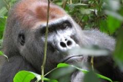 IMG_0545-Gorilla-in-Bayanga