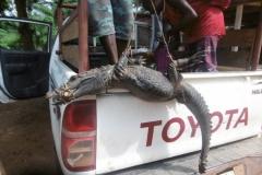 P1000133-Krokodil-gekocht-voor-15-euro