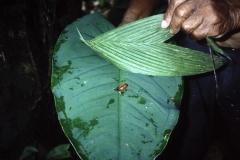 59-18-Tortuguero-kleine-gifkikkers-op-jungletrail