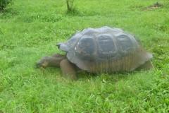 1_P1120680-Reuzeschildpadden-op-Primicias
