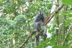 P1060641-Thomas-Leaf-monkey