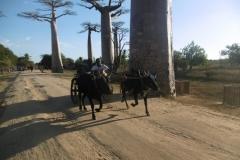 1_P1010246-Baobab-Avenue
