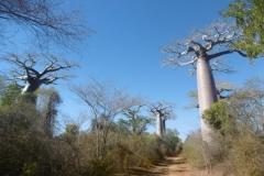1_P1010369-Big-baobabs