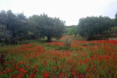 DSC_0239-Klaprozen-in-olijfgaard