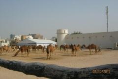 IMG_1948-Doha-kamelenmarkt