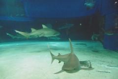 P1010430-Shark