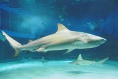 P1010436-Shark