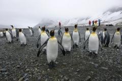 P1010036-King-Pinguins-Fortuna-Bay