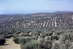 33-29-Andujar-olijfgaarden