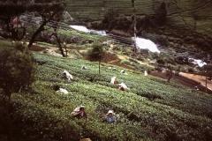 74-11-Nuwara-Elya-theeplantages