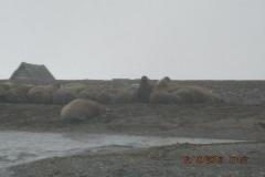 IMG_0527-Walrussen
