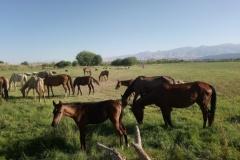 DSC_0800-Akhal-Teke-paarden