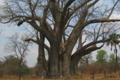 1_IMG_0994-Vic-Falls-NP-Big-Tree