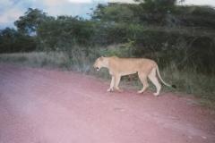 IMG_3697-Krugerpark-Mahony-loop-bij-Punda-Maria