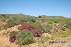 IMG_0038-Bloemen-in-Namaqualand